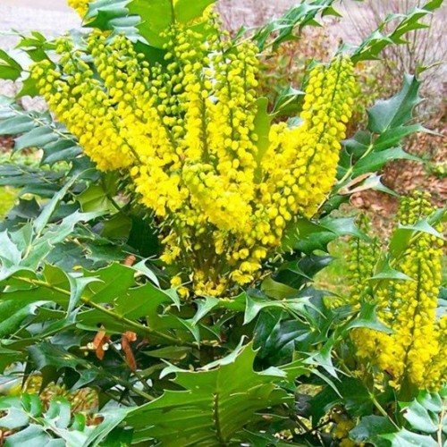 Mahonia X Media Winter Sun