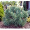 Pinus Sylvestris Watereri - Conifer
