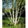 Mesteacan Betula Jacquemontii - Tulpini Multiple