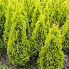 Cupressocyparis Leylandii Gold Rider - Conifer
