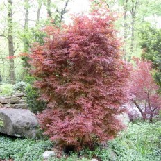 Artar Acer Palmatum Skeeter's Broom