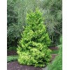Chamaecyparis Obtusa Draht - Conifer