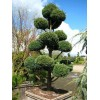 Juniperus Chinensis Blue Alps, Bonsai