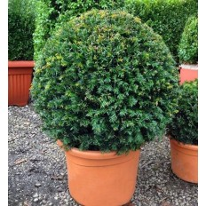 Taxus Baccata Ball - Conifer H 25-30 Cm