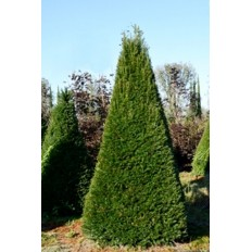 Taxus Baccata Piramid - Conifer