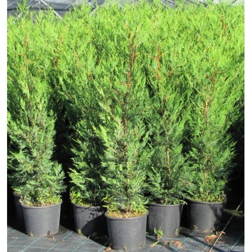 Cupressocyparis Leylandii `2001` - Conifer