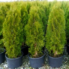 Thuja Occidentalis Smaragd - Arbust Ornamental H 80-100 Cm