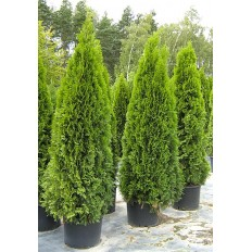 Thuja Occidentalis Smaragd Extra - Arbust Ornamental