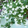 Bacopa - Floare Alba