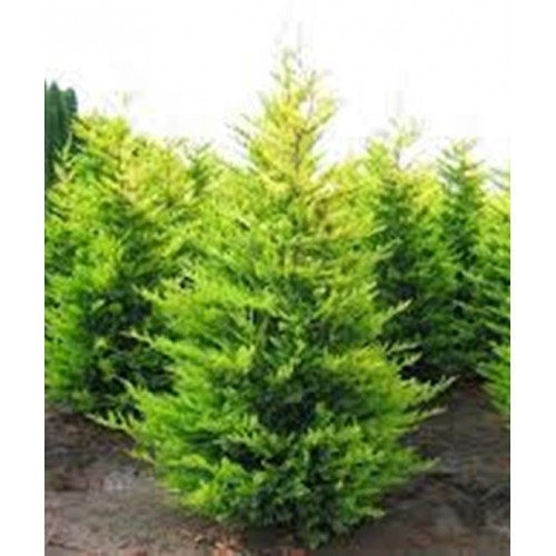 Cupressocyparis Leylandi - Conifer H 140-160 Cm
