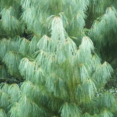 Pinus Wallichiana - Conifer