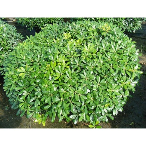 Arbust Pittosporum Tobira