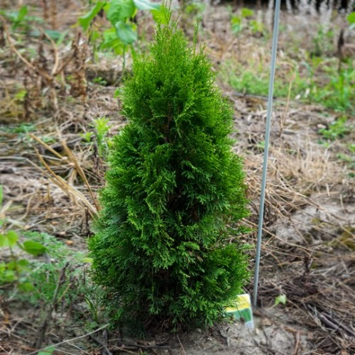 Thuja Occidentalis Smaragd 40/60 cm