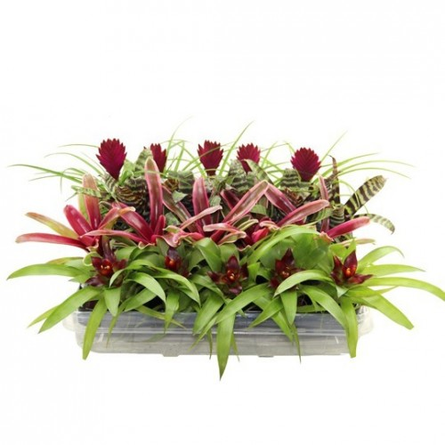 Bromelia Winter Mix 20cm
