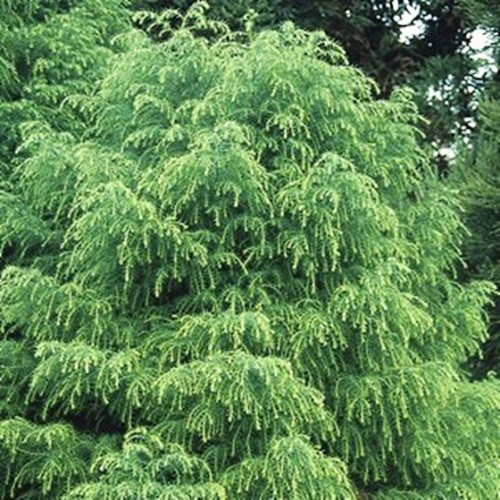 Conifer Cryptomeria Japonica Elegans