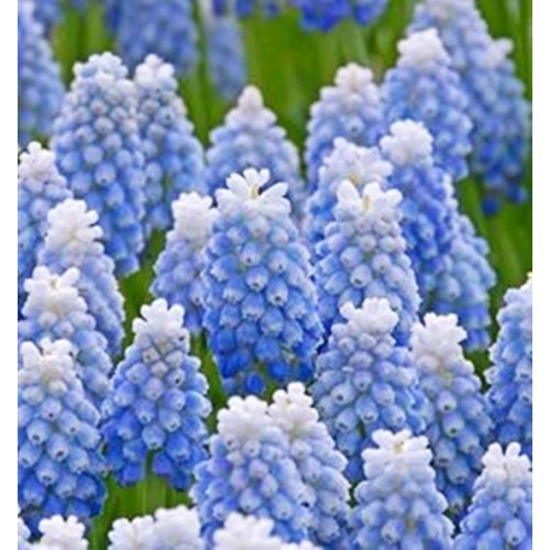 Floare Muscari