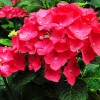 Floare Hydrangea Macrophylla Red Baron Rosu