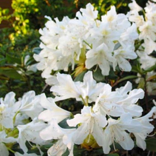 Rhododendron Cunningham Alb