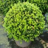 Arbust Buxus Microphylla Faulkner