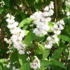 Deutzia Hybrida Mont Rose