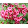 Arbust Weigela Bristol Ruby