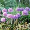 Floare Allium