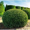 Taxus Baccata Ball - Conifer H 35cm +
