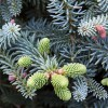 Conifer Abies Pinsapo Glauca