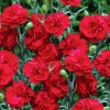 Floare Dianthus