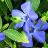 Floare Vinca Minor