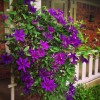 Clematis Patens The President