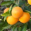 Citrus Orange - Portocal