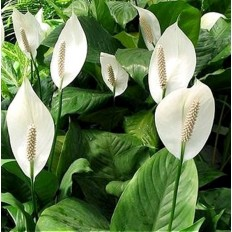 Floare Spathiphyllum Sweet Chico Strauss
