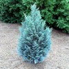 Conifer Chamaecyparis Lawsoniana Blue Surprise