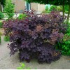 Cotinus Coggyglia Royal Purple
