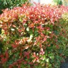 Arbust Photinia Fraseri Red Robin