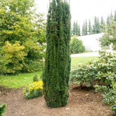 Taxus Baccata - Conifer