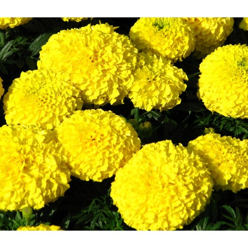 Floare Tagetes Erecta Craita