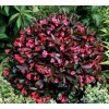 Arbust Weigela Kolmagira Minor - Negru