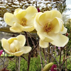 Arbore Magnolia Honey Tulip