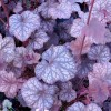 Floare Heuchera Cascade Dawn