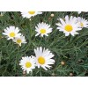 Floare Argyranthemum Frutescens