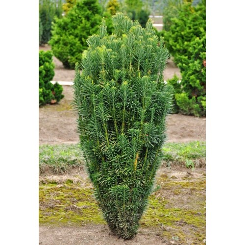 Cephalotaxus Harringtonia Fastigiata - Arbust
