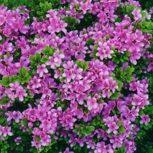 Arbust Azalea Japonica Purple Splendor