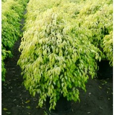 Ficus Benjamina Golden King