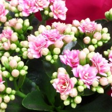 Floare Kalanchoe