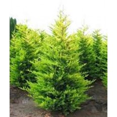 Cupressocyparis Leylandi - Conifer H 60-80 Cm