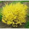 Forsythia - Arbust Ornamental