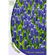Muscari Armeniacum - 10 Bulbi